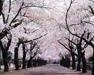 Blooming Cherry Blossoms Tokyo, Japan